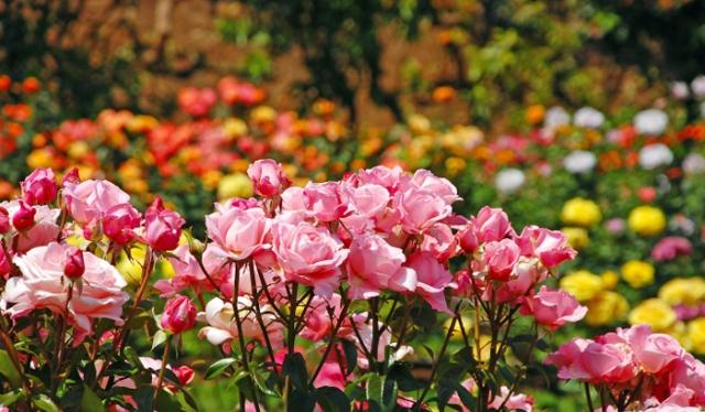 Munnar Forest Rose